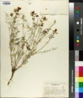 Image of Astragalus sclerocarpus