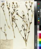 Porophyllum ruderale image