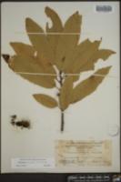 Castanea crenata image