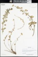 Image of Parietaria cretica
