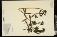 Image of Baptisia x bushii