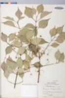 Euonymus bungeanus image