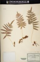 Polypodium arcanum image