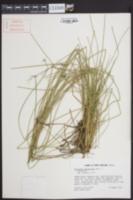 Eleocharis melanocarpa image