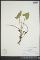 Asarum arifolium image