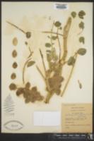 Image of Astragalus kahiricus