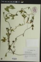 Ipomoea cordatotriloba var. cordatotriloba image