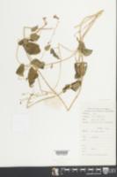 Image of Dinetus racemosus
