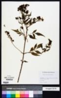 Image of Bidens waianensis