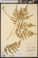 Pteridium latiusculum var. pseudocaudatum image