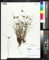 Image of Cyperus houghtonii
