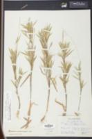Image of Panicum unciphyllum