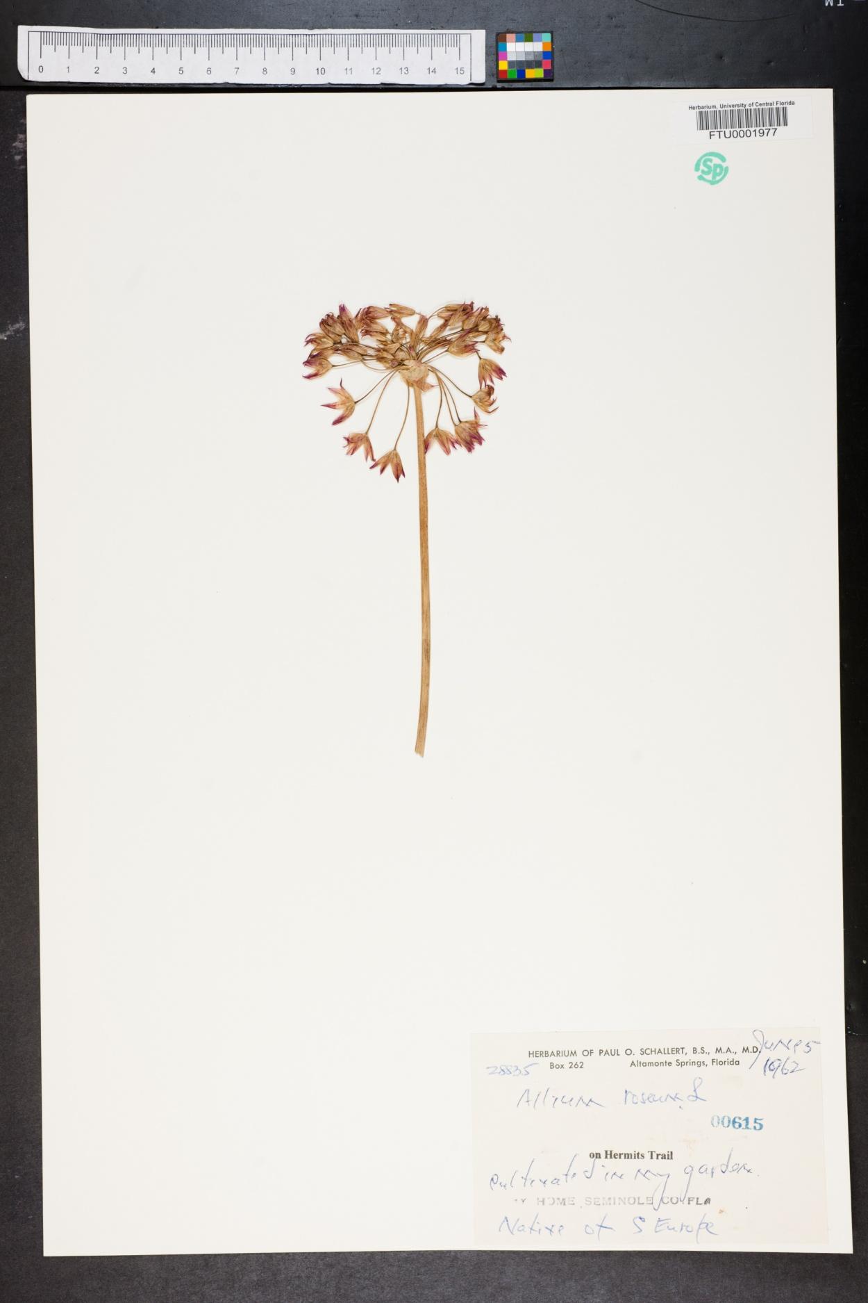 Allium roseum image