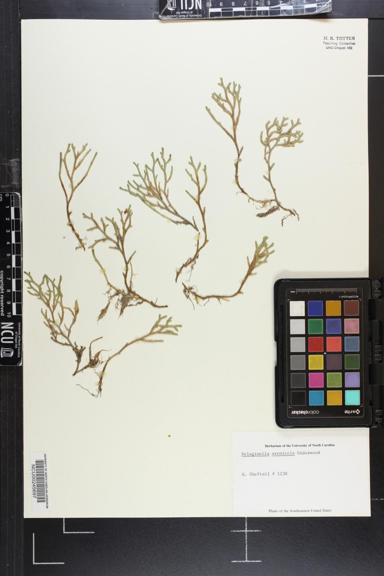 Selaginella arenicola image