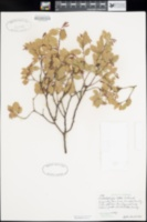 Image of Arctostaphylos helleri