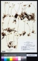 Image of Saxifraga hypnoides