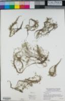 Lemna valdiviana image