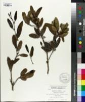 Image of Schinopsis lorentzii
