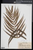 Asplenium kaulfussii image