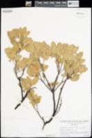 Image of Arctostaphylos cinerea
