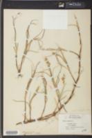 Carex arenaria image