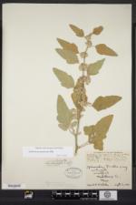 Image of Sphaeralcea mendocina