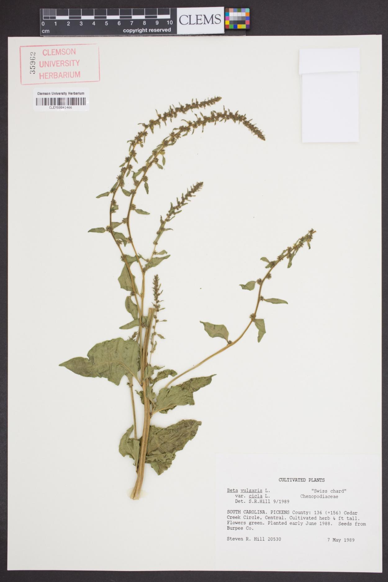 Beta vulgaris ssp. cicla image