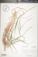 Elymus svensonii image