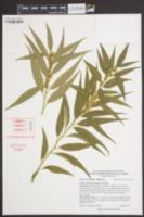 Sarcococca saligna image
