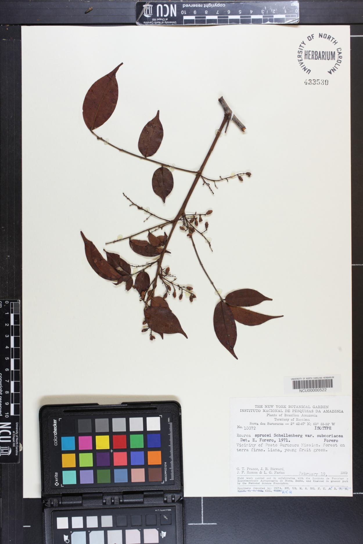 Rourea sprucei var. subcoriacea image