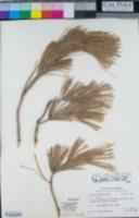 Pinus leiophylla var. chihuahuana image