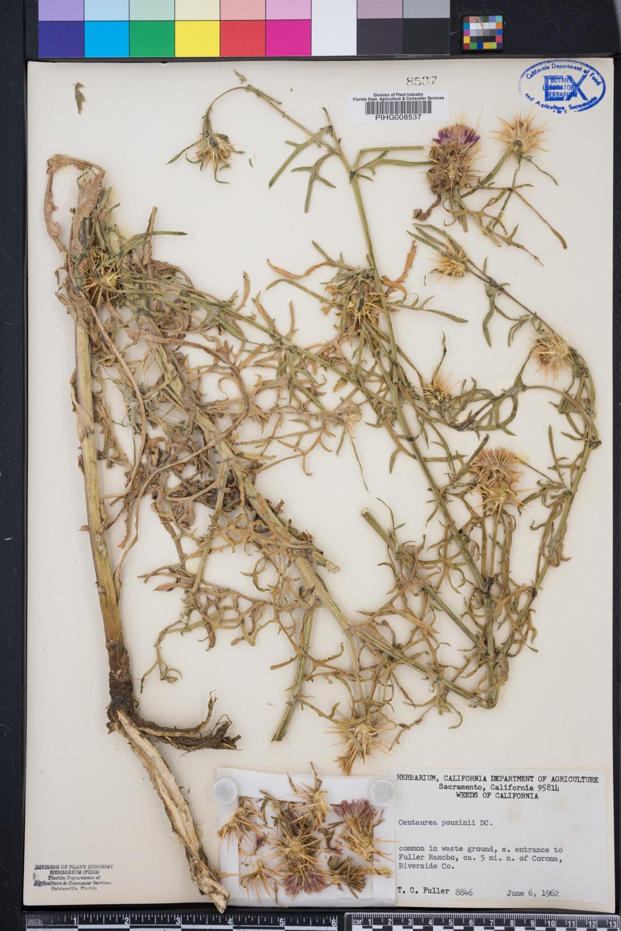 Centaurea x pouzinii image