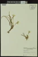 Tristagma uniflorum image