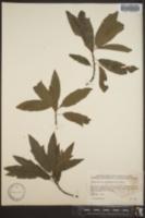 Quercus x brittonii image
