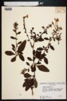 Plumbago auriculata image