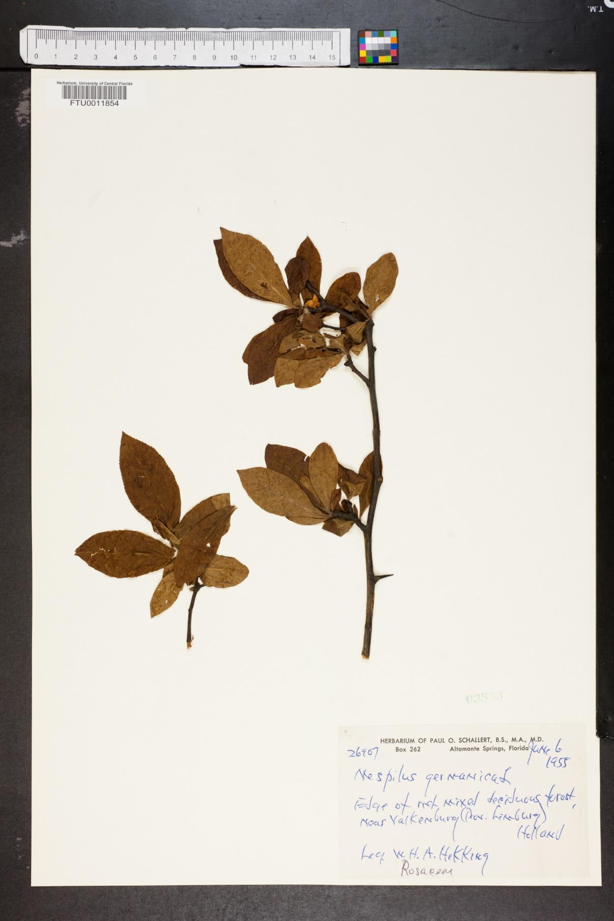 Mespilus germanica image