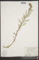 Image of Artemisia tilesii