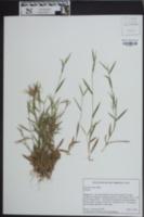Image of Panicum tenue