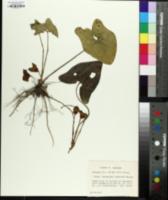 Hexastylis speciosa image