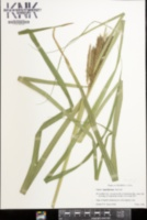 Carex lupuliformis image