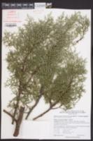 Cupressus arizonica image