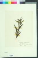 Buglossoides purpurocaerulea image