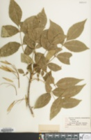 Image of Fraxinus chinensis