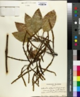 Image of Korthalsella platycaula