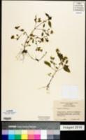 Prunella laciniata image