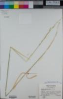 Elymus stebbinsii image