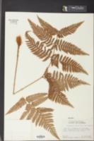 Image of Ctenitis sloanei