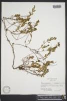 Hypericum stragulum image