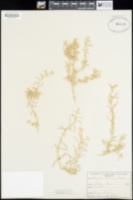 Atriplex linearis image