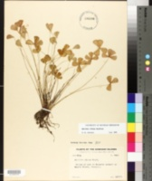 Image of Marsilea villosa